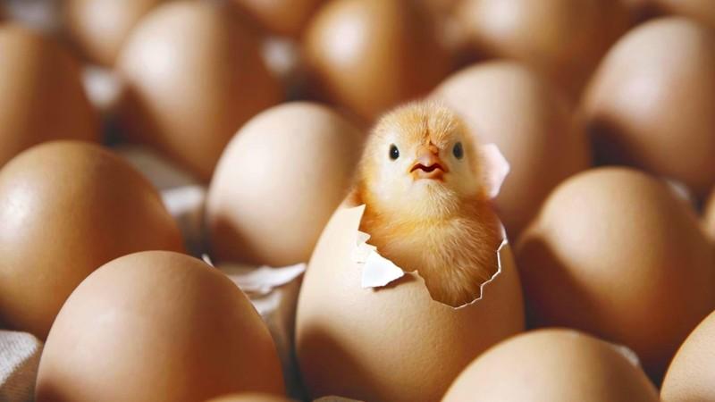 птенец вылупился из яйца