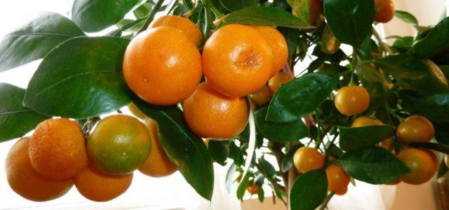 Как вырастить дерево мандарина из косточки