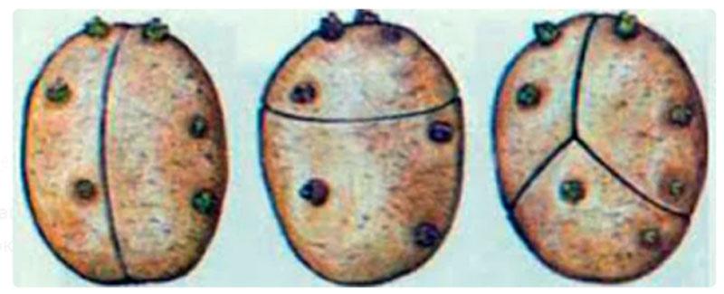 Кербовка: О поперечном надрезе на семенной картошке