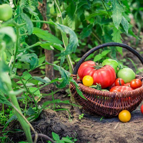 Названы 3 продукта, которые избавят огород от вредителей