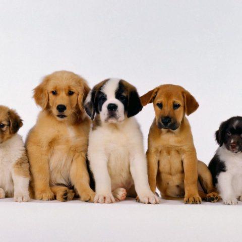 С какого возраста собаки понимают человека