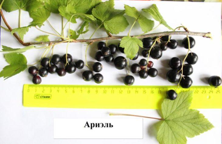 Вятские селекционеры создали новые сорта смородины, лука и  ячменя для нашего климата