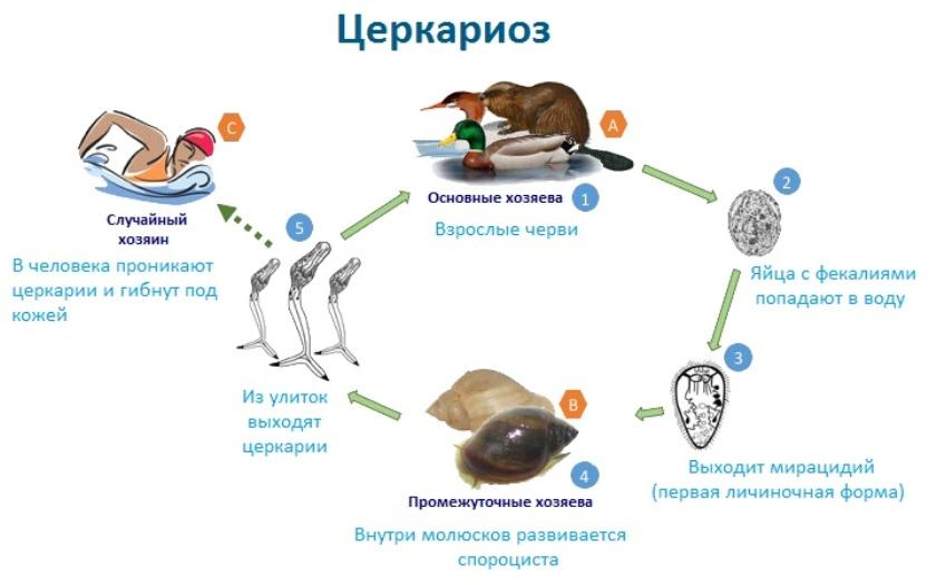 О паразитах, способных внедряться в кожу при купании в водоемах